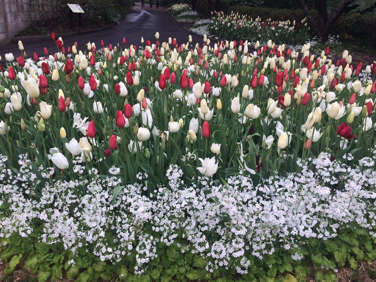 TulipsFullBloom